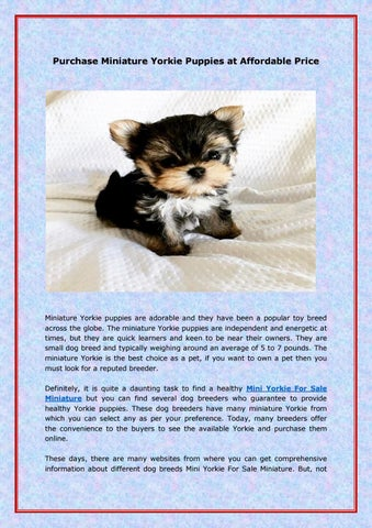 Purchase Miniature Yorkie Puppies At Affordable Price By Exquisite