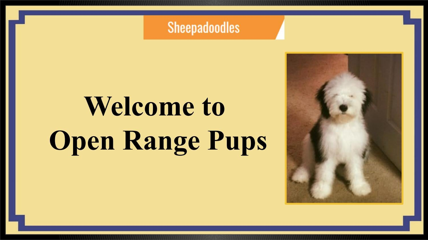 Sheepadoodle Puppies for Sale Eckert,CO | Open Range Pups by