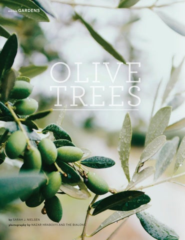 Page 42 of Olive Trees