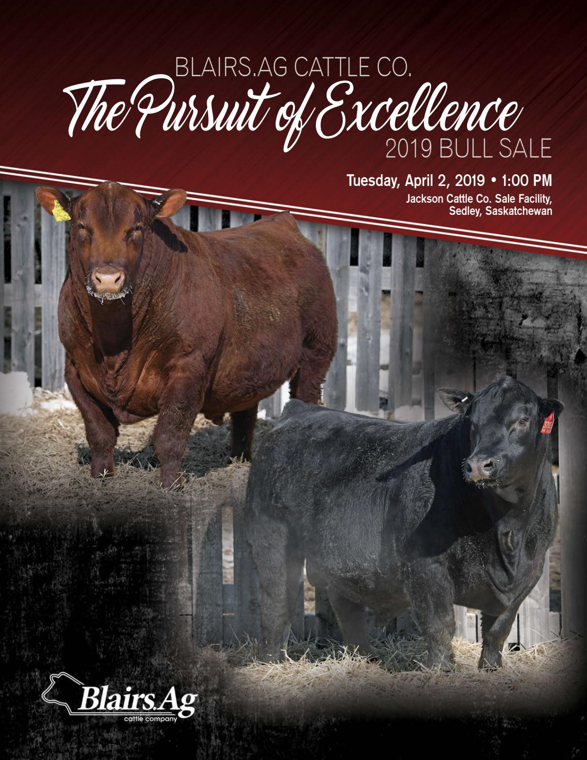 Blairs Ag Cattle Co  The Pursuit of Excellence 2019 Bull