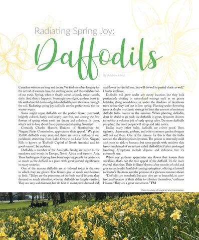 Page 104 of Radiating Spring Joy: Daffodils