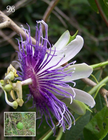 Page 26 of Native Plant Highlight: Passionflower
