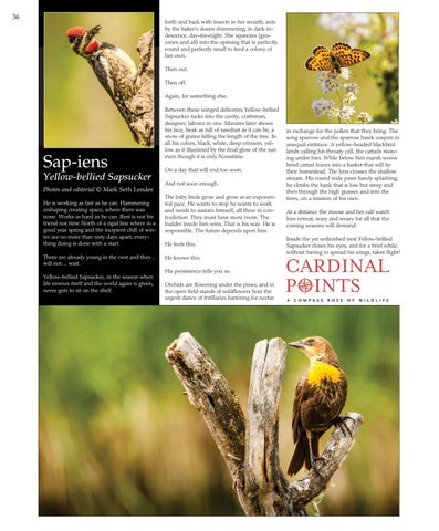Page 36 of Sap-iens: Yellow-bellied Sapsucker. Photos and editorial © Mark Seth Lender