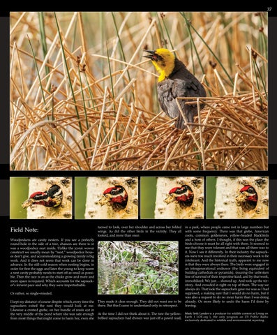 Page 37 of Sap-iens: Yellow-bellied Sapsucker. Photos and editorial © Mark Seth Lender