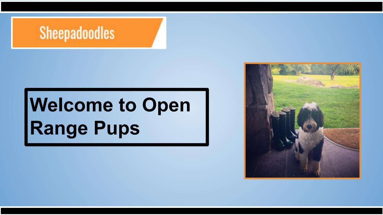 F1B Micro Sheepadoodle Puppies in Colorado | Open Range Pups