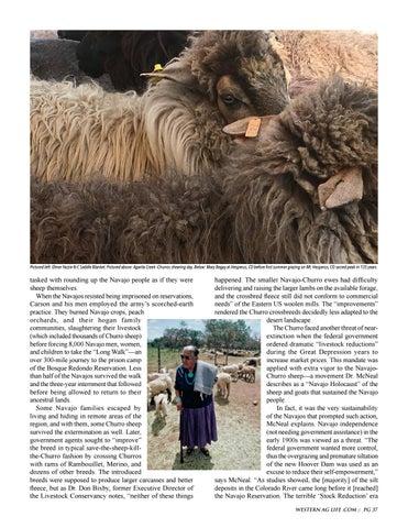 Page 37 of History: Navajo-Churro