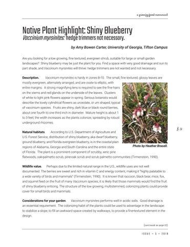 Page 31 of Native Plant Highlight: Shiny Blueberry