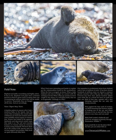 Page 65 of Elephant Seal Nursing Godthul Harbor,  South Georgia Island