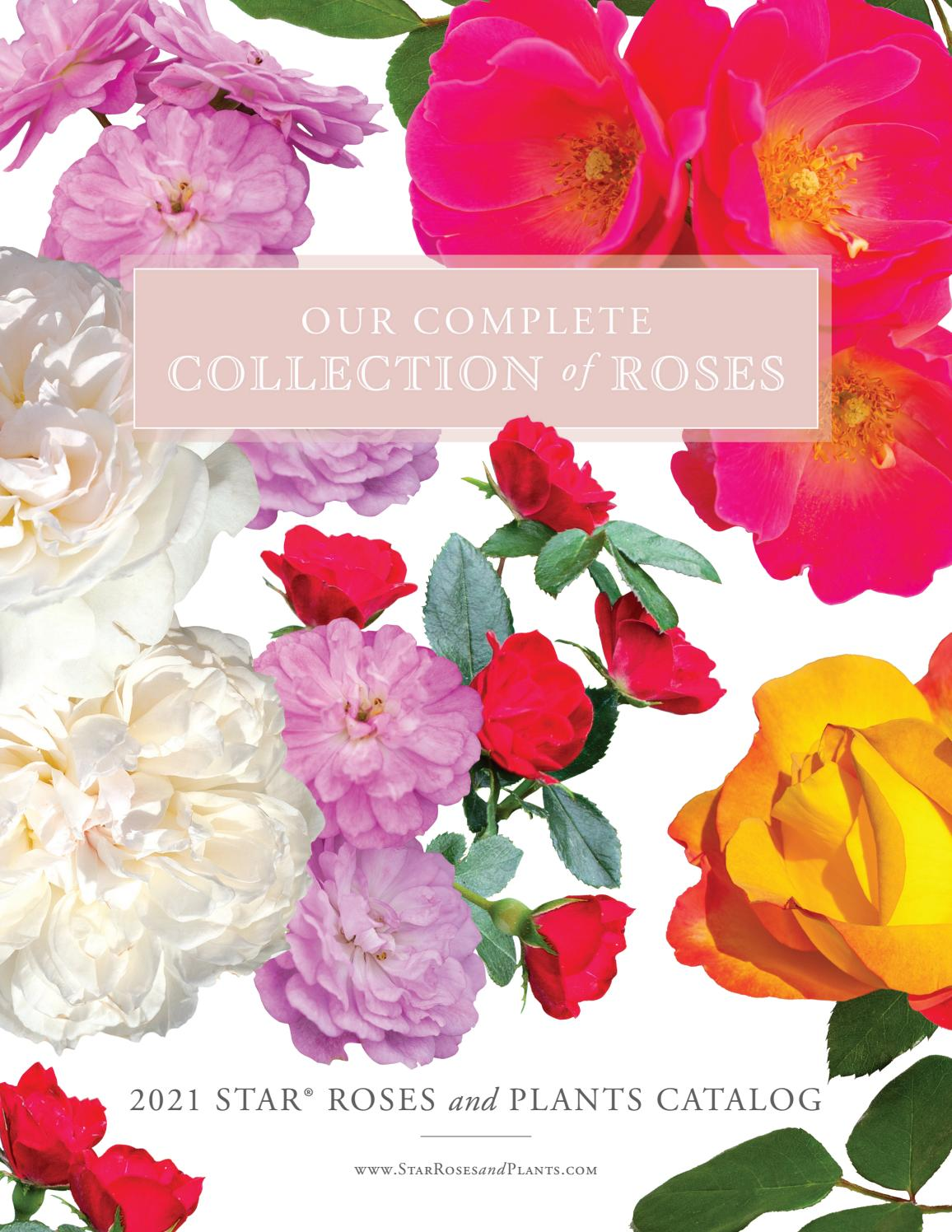 2021 Star Roses And Plants Rose Catalog By Star Roses And Plants