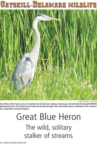 Page 26 of Catskill-Delaware Wildlife: Great Blue Heron