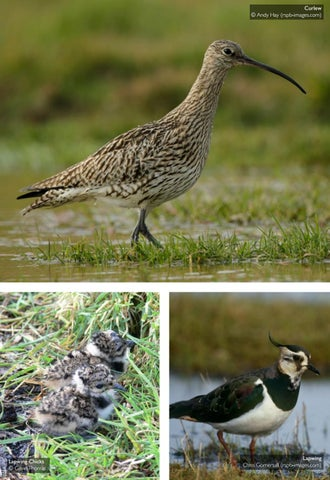 Page 45 of Welcoming Waders Back To The Uplands